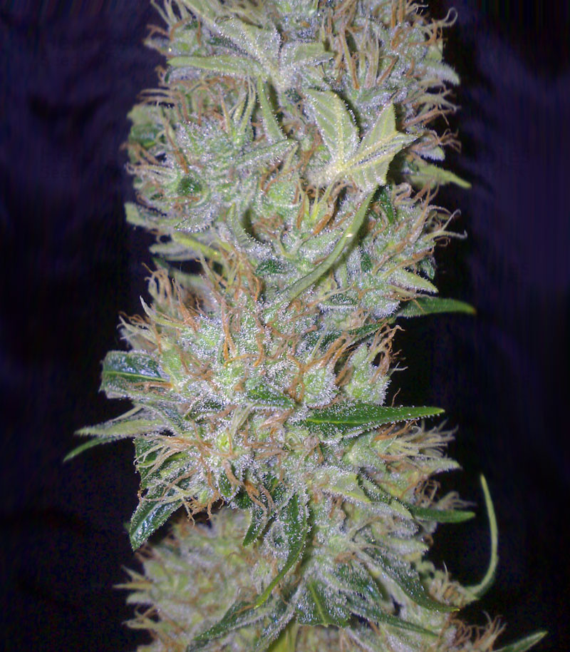 Buy White Label Jack Herer Regular Seeds