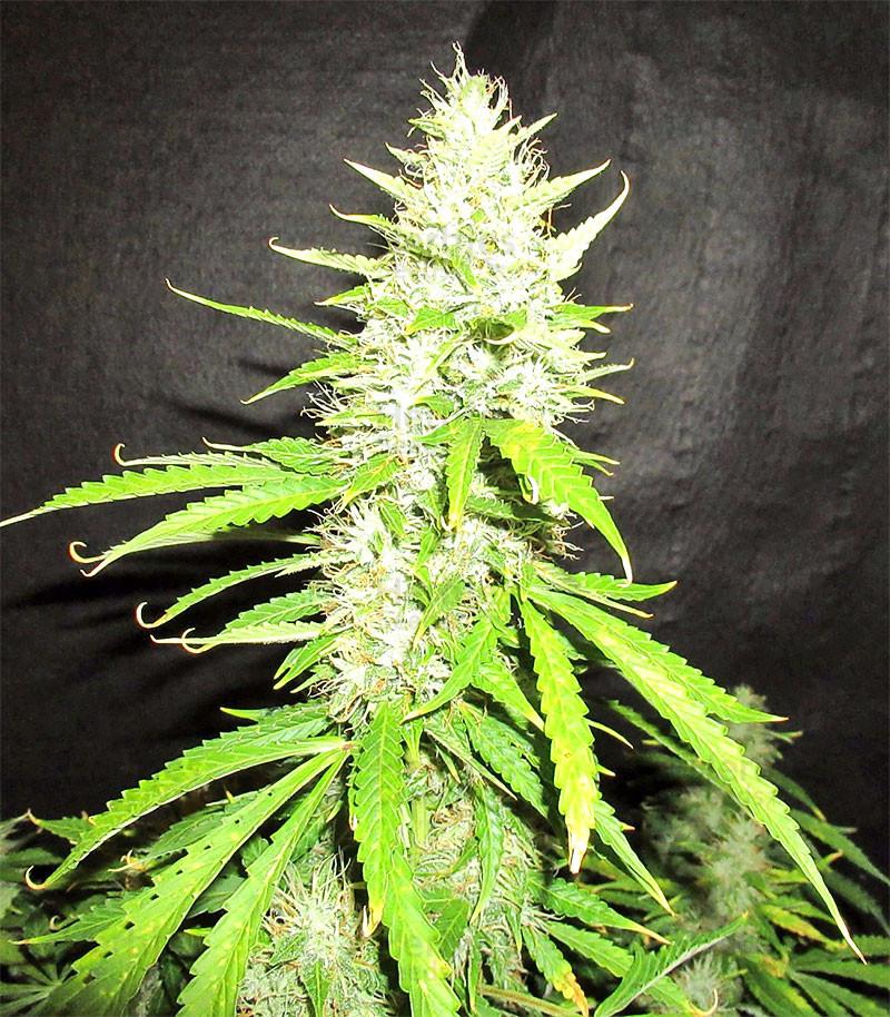 Northern Lights Autoflower feminized seeds for sale
