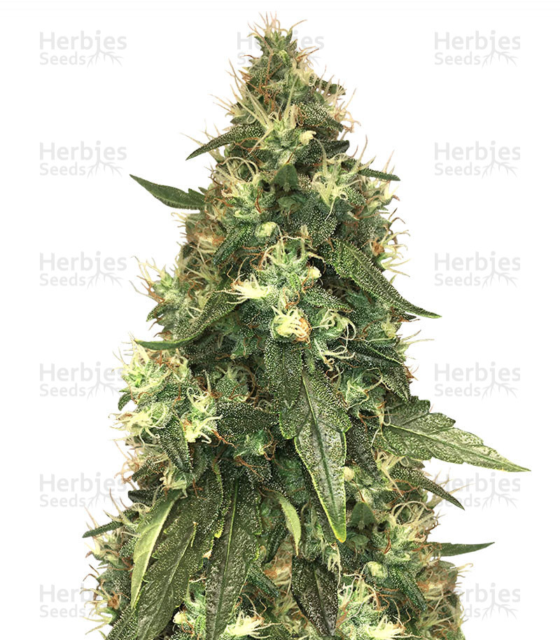 Northern Lights feminized seeds for sale - Herbies Seeds