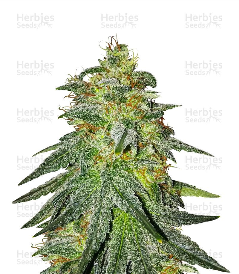大麻的种类和功效——从零单种(3)