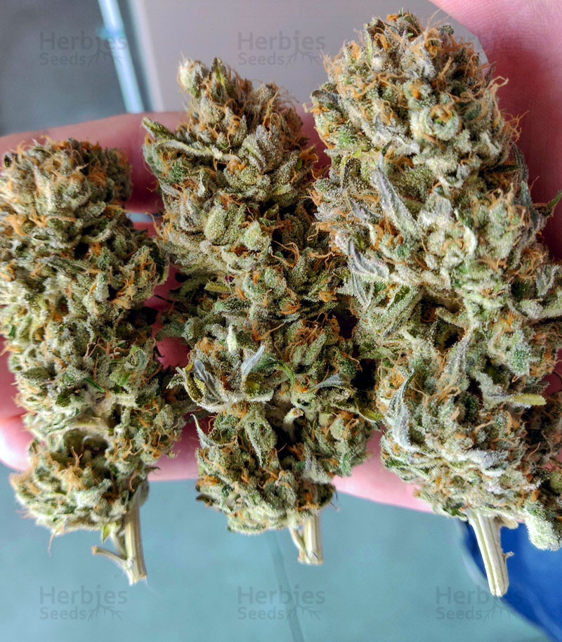 Blue Gelato 41 Seeds For Sale By Barney S Farm Herbies