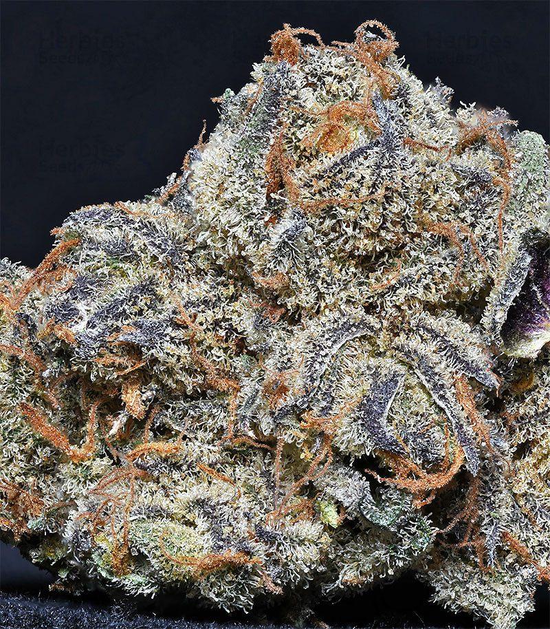 Head Of Gorilla: Grandaddy Purple Fem: Seeds For Sale, Strain Information