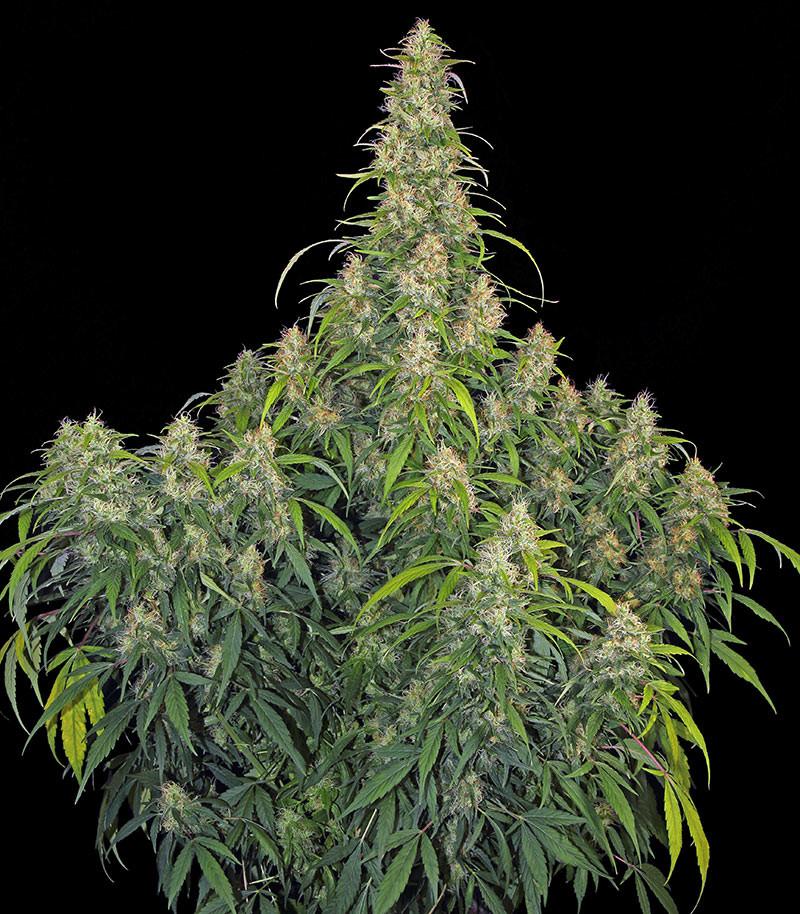 Качественные семена канабиса достал марихуану