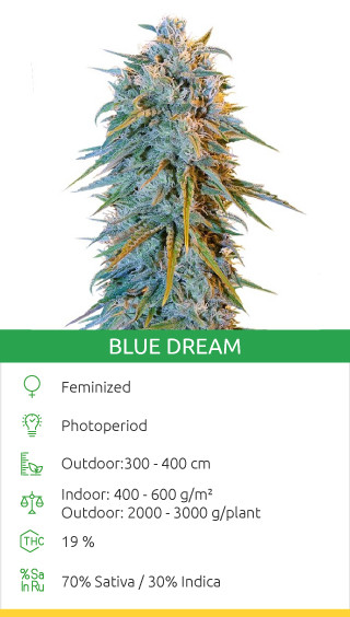 best sativa strains in the world
