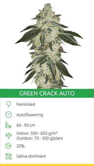 best sativa strains to grow outdoors