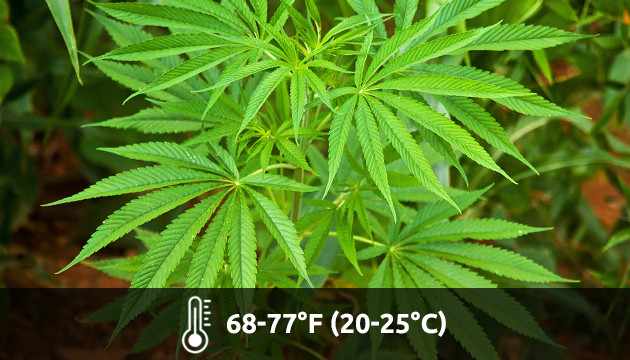 temperature for growing weed