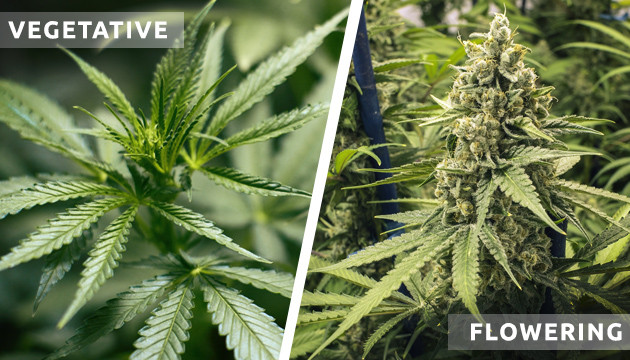 Different Stages Of The Cannabis Lifecycle