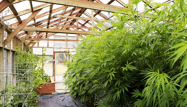 best temperature for growing weed