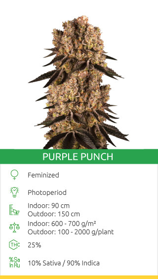 Purple punch fem