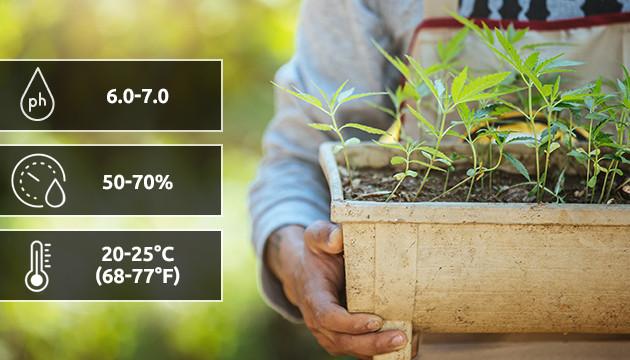 How To Grow Autoflowering Cannabis Herbies