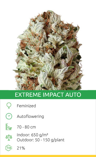 Extreme Impact Auto seeds by Heavyweight Seeds