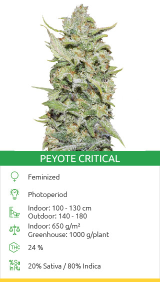 Peyote Critical seeds by Barneys Farm