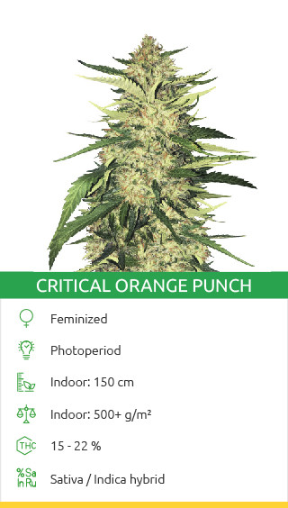 Critical Orange Punch seeds by Dutch Passion