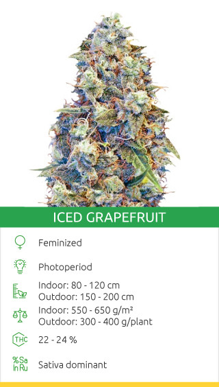 Iced Grapefruit seeds by Female Seeds