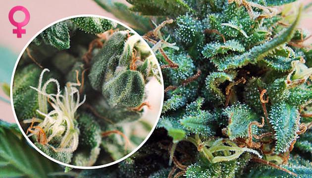 female marihuana plant