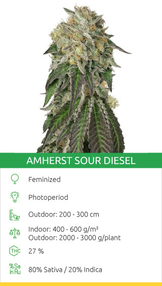 best landrace sativa strains