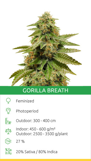 Gorilla Breath seeds by Humboldt Seeds