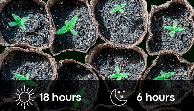 cannabis seedling light schedule