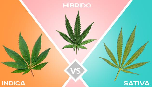Cuál Es La Diferencia Entre Las Marihuanas índicas Sativas E Híbridas Herbies