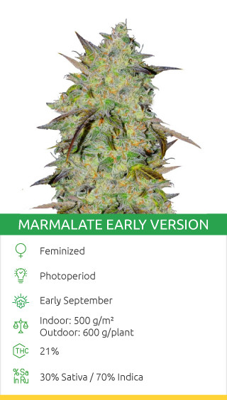 Marmalate Early Version strain