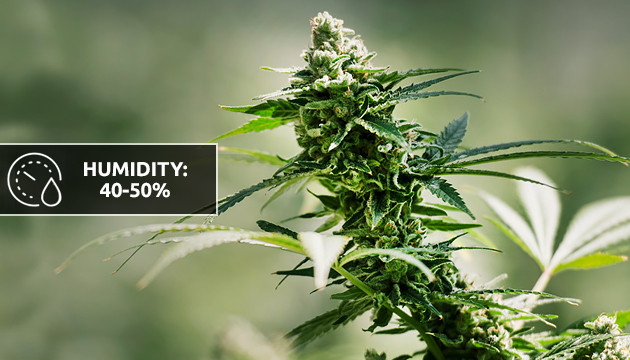 best humidity for cannabis