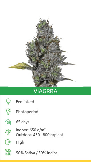 Buy Viagrra seeds by VIP Seeds