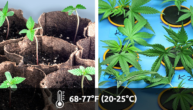marijuana growing temperature