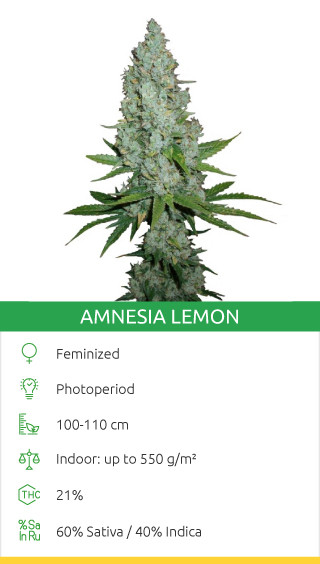 Amnesia Lemon fem