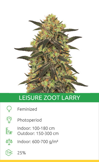 Leisure Zoot Larry cannabis strain