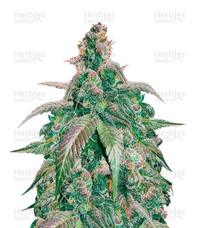 Buy Kali China Breeders Pack feminized seeds