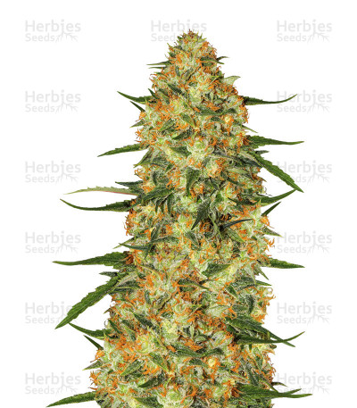 Buy Five-O feminized seeds