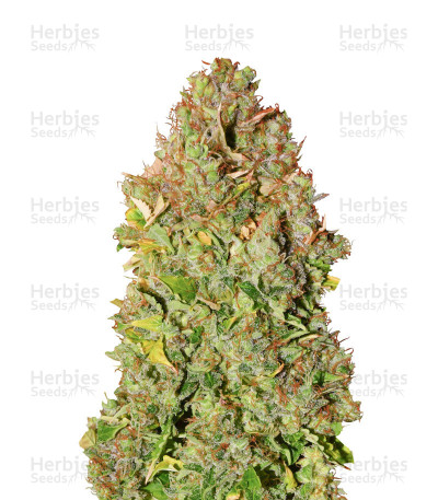 Buy Sensi Skunk feminized seeds