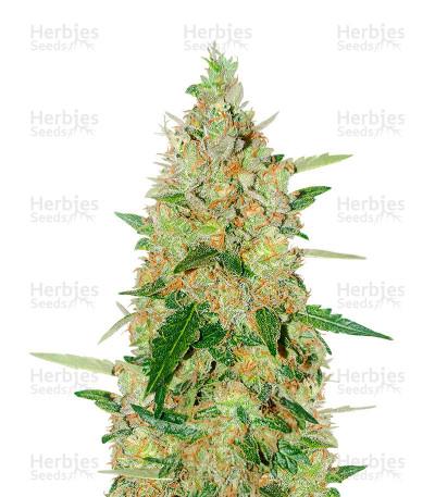 Graines de cannabis Extreme Impact Auto (Heavyweight Seeds)