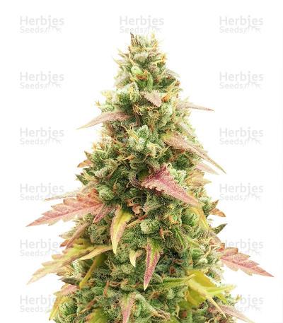 Graines de cannabis Gorilla Glue Auto (Glue Auto)