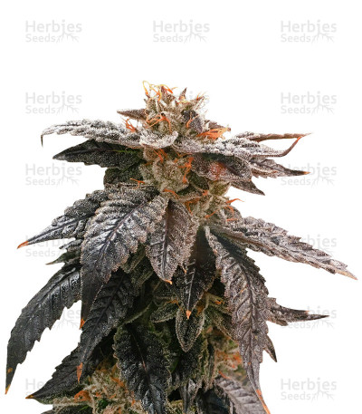 Buy Star OX Regular seeds