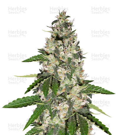 Buy Black Gum feminized seeds