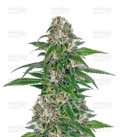 Buy Early Skunk Automatic feminized seeds
