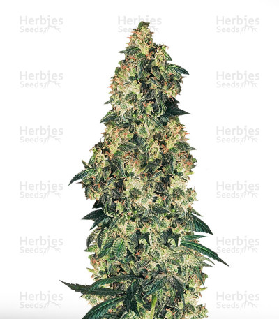 Buy Northern Lights feminized seeds