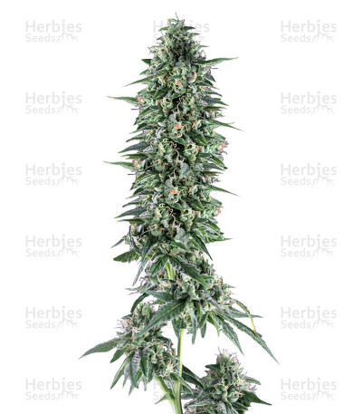 Buy Txees Bilbo feminized seeds