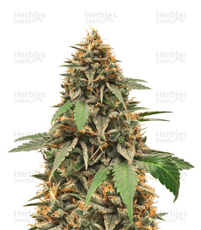 Buy Candy Dawg Autoflower (Seed Stockers)