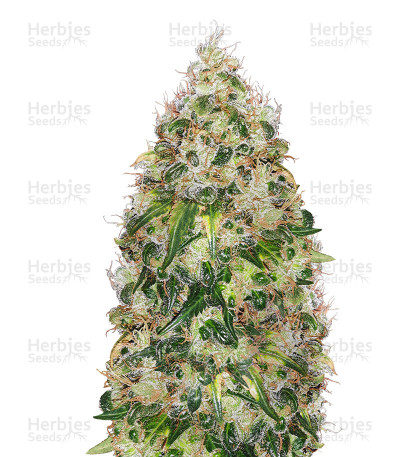 Buy Sour Ripper feminized seeds