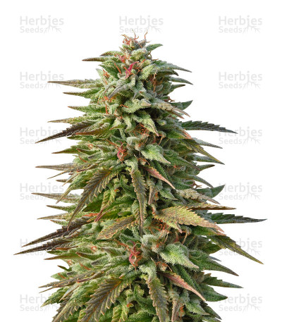 Buy Trippy Gorilla Autoflowering feminized seeds