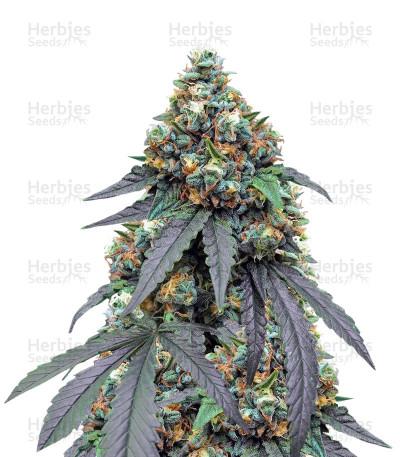 Gorila (Pyramid Seeds)