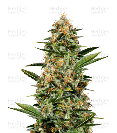 Buy Amnesia OG regular seeds