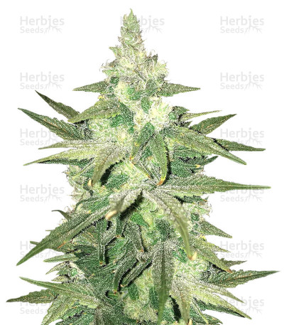 Buy Chizpa By Zatu feminized seeds
