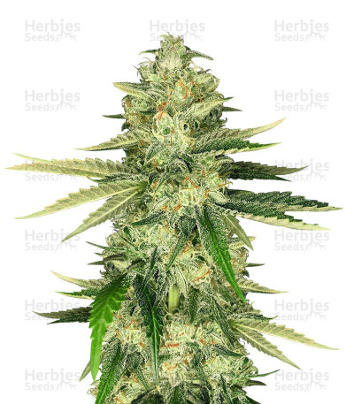 Buy Hawaiian Snow x Wedding Cake x Gelato 33 feminized seeds