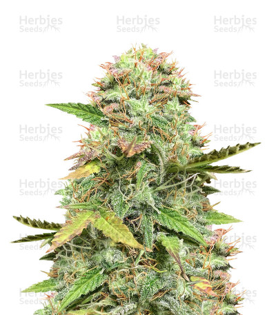 Hijack Auto (Auto Seeds) Cannabis-Samen