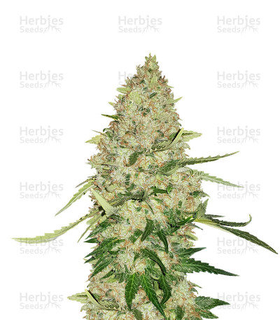 Buy Kritikal Bilbo CBD feminized seeds
