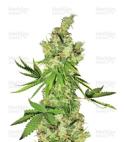 Buy Lemon OG Kush feminized seeds