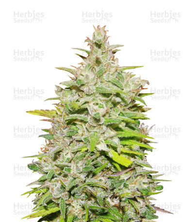 Buy Crystal M.E.T.H. feminized seeds